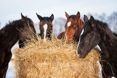 Cavalli che mangiano.