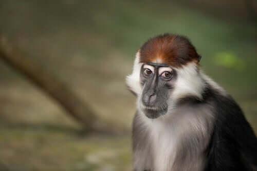"""Il cercocebo moro: il primate """"testarossa"""" in via di estinzione"""
