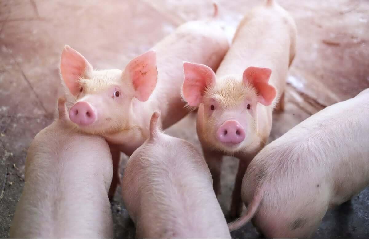 Un gruppo di maialini in un allevamento.