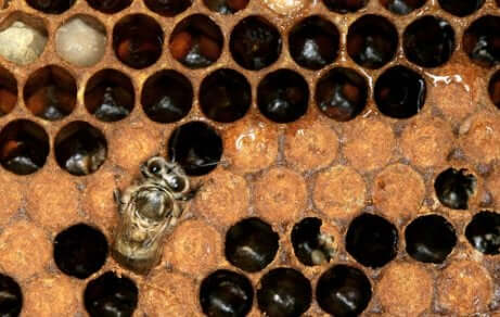 Ape regina dà vita al ciclo di vita dell'ape europea.