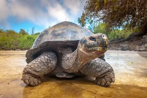 Tartaruga delle Galapagos.