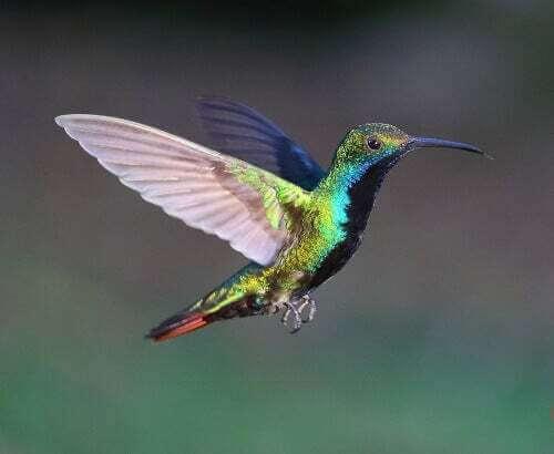 Colibrì che vola.