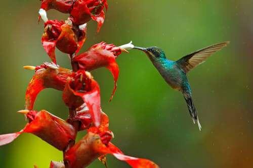 Colibrì che si avvicina ad una pianta. Uccelli nettarivori.