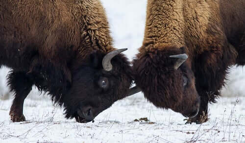 Due bisonti americani che si scontrano in duello per attirare l'attenzione delle femmine.