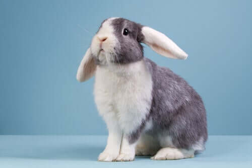 Il coniglio ariete: tutto quello che c'è da sapere