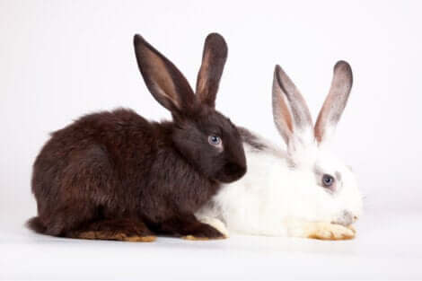 Generazione animale: un coniglio bianco e uno nero.