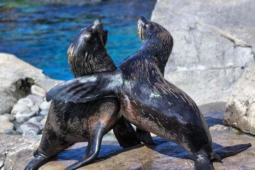 Coppia di leoni marini.