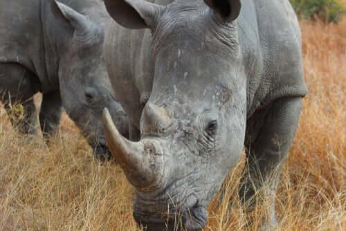 Il corno del rinoceronte nella preistoria