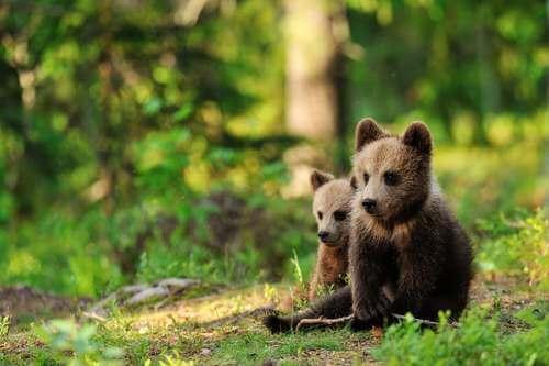 Cuccioli d'orso nella foresta.