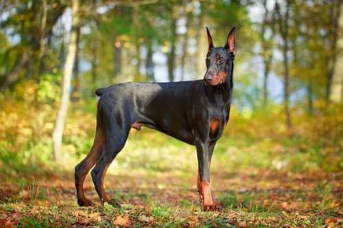 Un cane doberman pinscher.