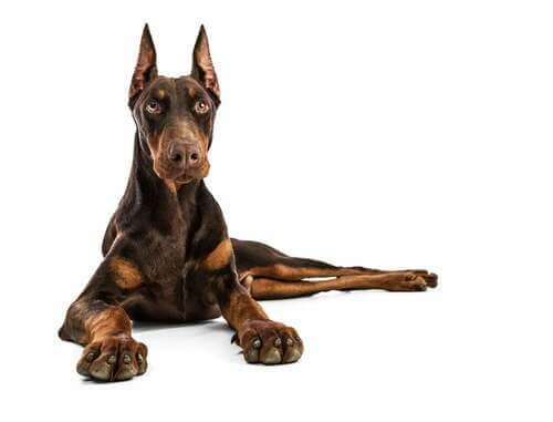 Le 7 migliori razze di cani da guardia