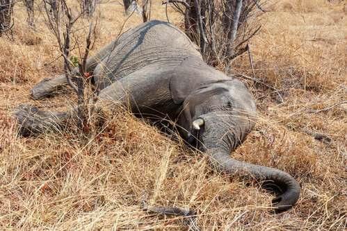 Centinaia di elefanti morti in Botswana: che succede?