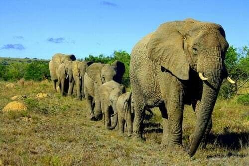 Mandria di elefanti.