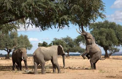 Elefanti che mangiano dagli alberi.
