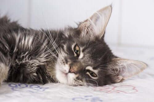 Trattamenti naturali epilessia nei gatti.