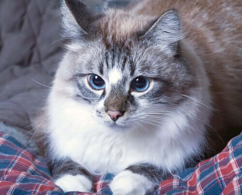 Sintomi delle crisi epilettiche nei gatti.