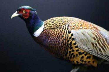 6 bellissimi parenti selvatici della gallina domestica