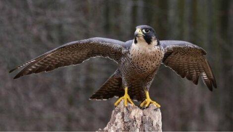 Tra i rapaci diurni troviamo il falco pellegrino.