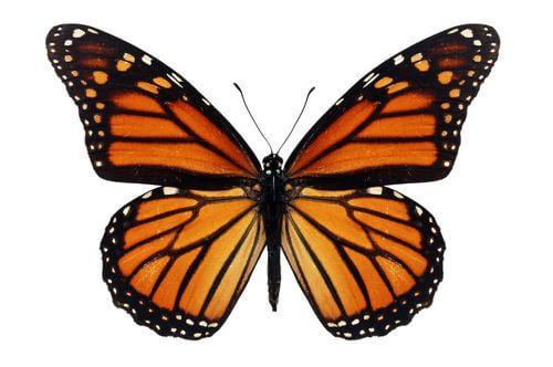 Farfalla monarca.