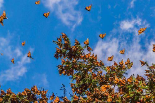 Farfalle monarca e migrazione.