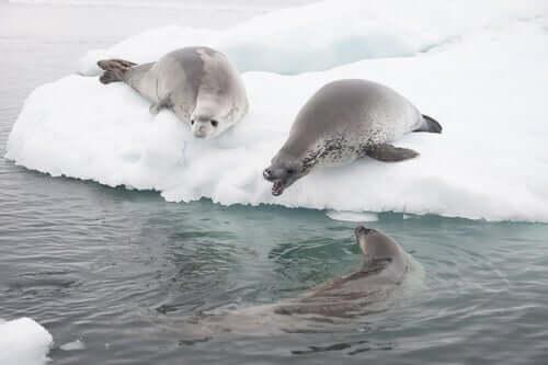 Gruppo di foche cancrivore.