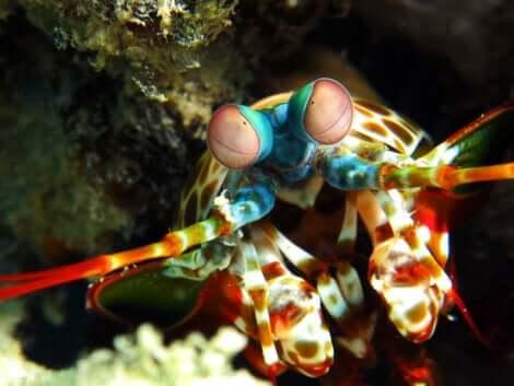 Mantide di mare nel proprio ambiente naturale.