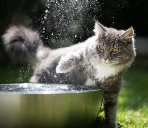 Gatto grigio che bagna la zampa in una fontana.