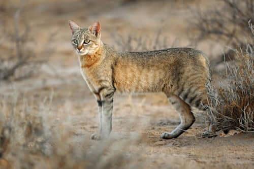 Esemplare di Felis silvestris lybica nel deserto.