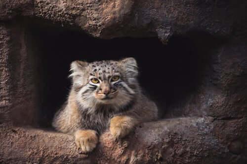 Il gatto di Pallas: il solitario dell'Himalaya