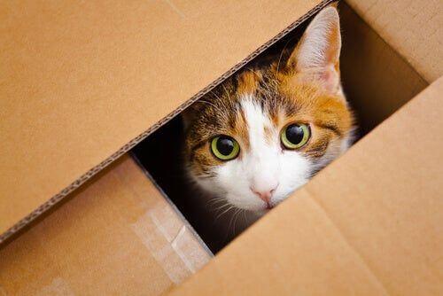 Gatto in una scatola di cartone tra i giochi di intelligenza per il vostro animale domestico.