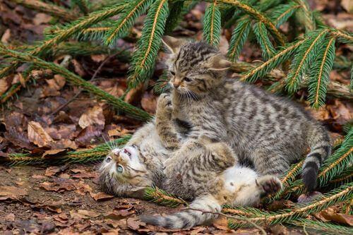 Gatto selvatico scozzese con cucciolata.