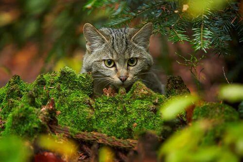 Viso di un gatto selvatico scozzese.