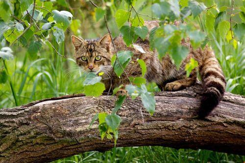 Gatto selvatico scozzese: il piano di recupero per salvarlo