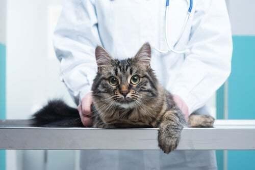 Gatto dal veterinario.