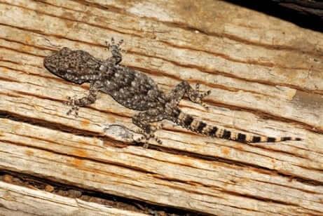 Esemplare di geco comune cammina sul legno.