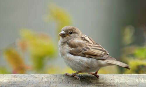 Il passero domestico: tra storia e curiosità