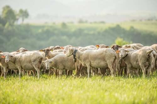 Gregge di pecore al pascolo.