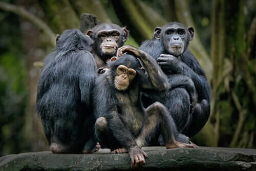 Il Bonobo, il primate che più ci assomiglia