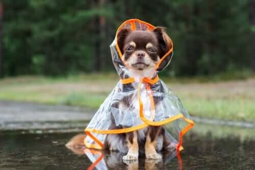 Cane con mantellina impermeabile per ripararsi dalla pioggia.