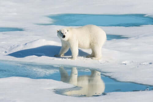 Gli orsi polari e l'inquinamento del loro habitat