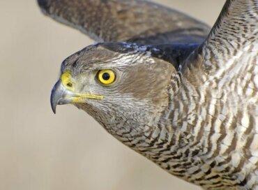 Gli uccelli rapaci e la loro vista sorprendente