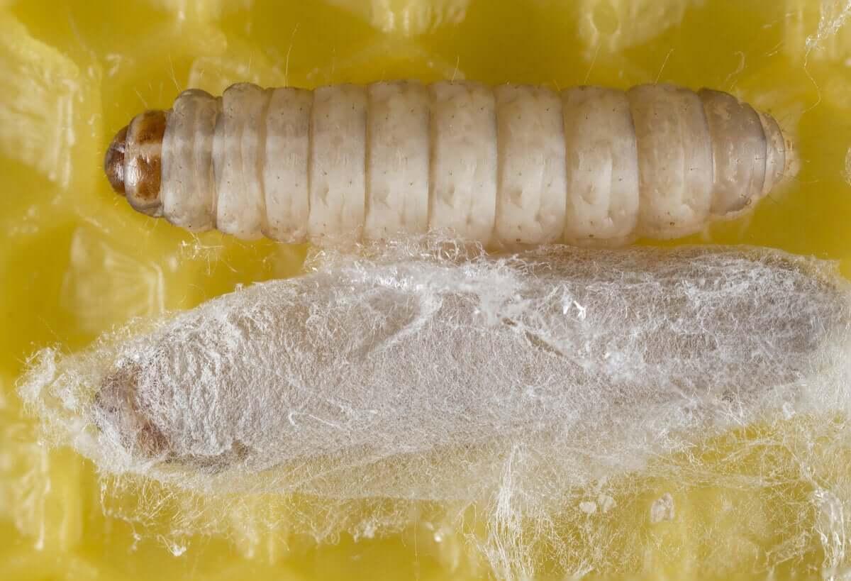 Una larva o ninfa con il bozzolo. Vermi che mangiano la plastica.
