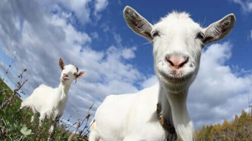 Le capre preferiscono le persone felici
