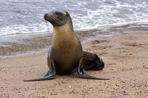 Leone marino delle Galapagos (Arctocephalus galapagoensis).