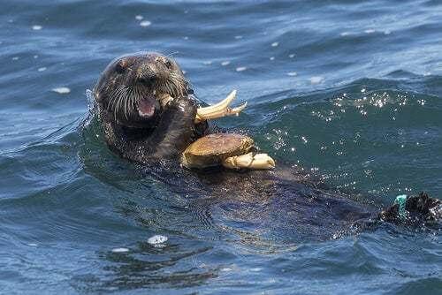Lontra marina che mangia in acqua.