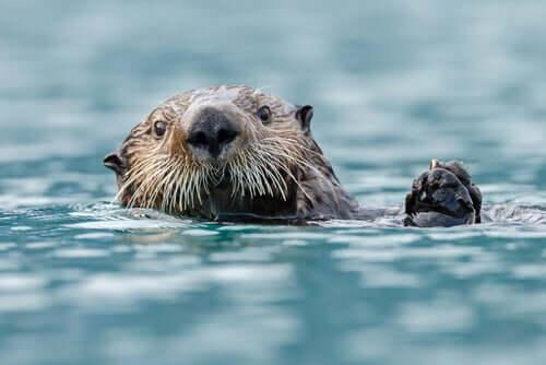 La lontra marina: caratteristiche e alimentazione