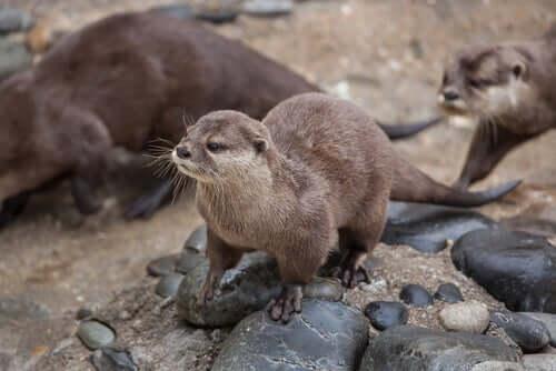 La lontra nana: caratteristiche, comportamento e habitat