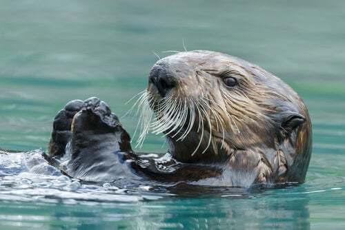 Lontra marina che nuota.