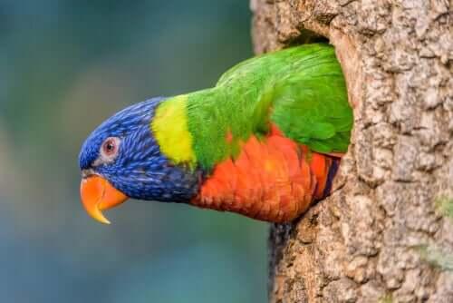 Lorichetto di Swainson: uno degli uccelli più belli al mondo