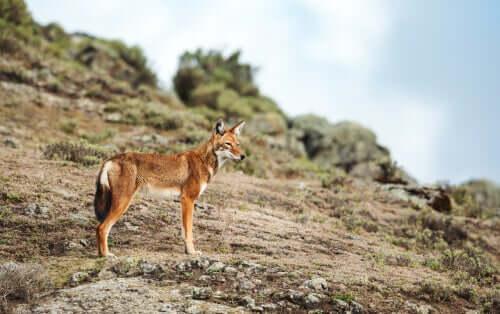 Gli ultimi lupi etiopi: caratteristiche e comportamento